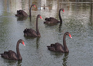 Five Black Swans For 2021